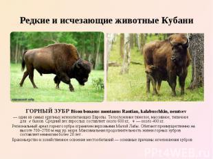 ГОРНЫЙ ЗУБР Bison bonasus montanus Rautian, kalabuschkin, nemtsev ГОРНЫЙ ЗУБР Bi