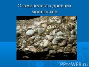 Окаменелости древних моллюсков