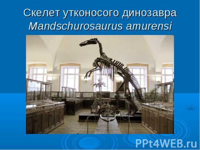 Скелет утконосого динозавра Mandschurosaurus amurensi