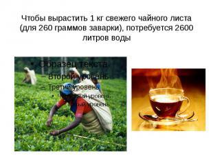 Чтобы вырастить 1 кг свежего чайного листа (для 260 граммов заварки), потребуетс