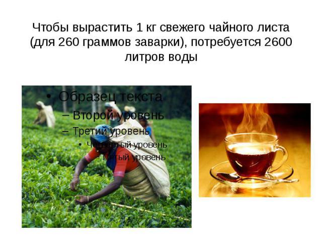 Чтобы вырастить 1 кг свежего чайного листа (для 260 граммов заварки), потребуется 2600 литров воды