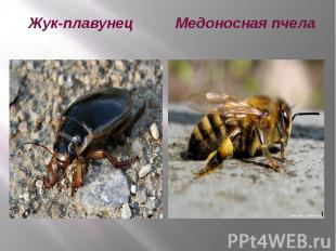Жук-плавунец Медоносная пчела