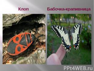 Клоп Бабочка-крапивница