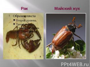 Рак Майский жук