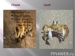 Пчела Краб