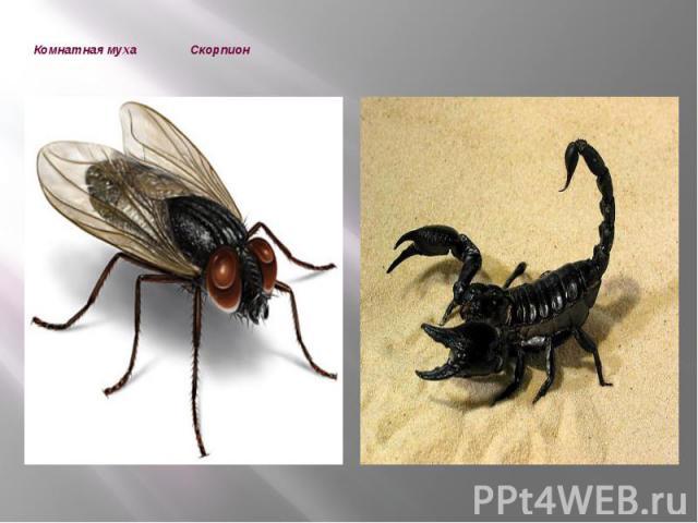 Комнатная муха Скорпион