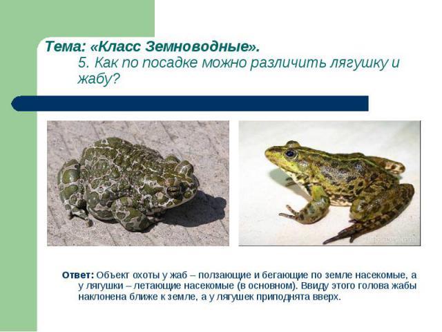 Ответ: Объект охоты у жаб – ползающие и бегающие по земле насекомые, а у лягушки – летающие насекомые (в основном). Ввиду этого голова жабы наклонена ближе к земле, а у лягушек приподнята вверх. Ответ: Объект охоты у жаб – ползающие и бегающие по зе…