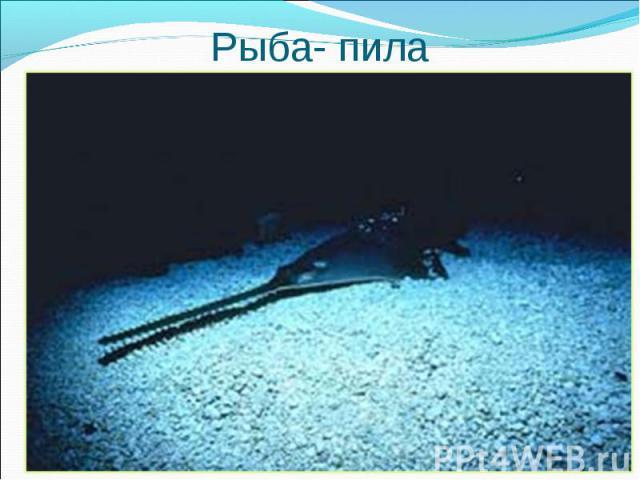 Какая рыба называется так же, Какая рыба называется так же, как инструмент плотника?