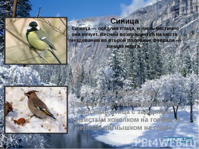 Синица Синица — оседлая птица, и лишь частично она кочует. Весной возвращается на места гнездования во второй половине февраля — начале марта. Свиристель Свиристель - это крупная, очень красивая птица с задорным пушистым хохолком на голове и черным …