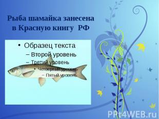 Рыба шамайка занесена в Красную книгу РФ