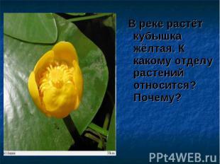В реке растёт кубышка жёлтая. К какому отделу растений относится? Почему? В реке