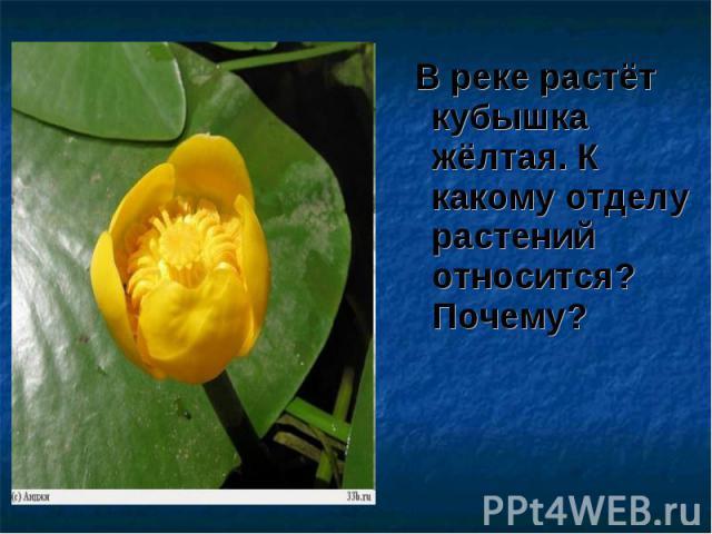 В реке растёт кубышка жёлтая. К какому отделу растений относится? Почему? В реке растёт кубышка жёлтая. К какому отделу растений относится? Почему?
