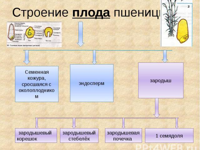 Строение плода пшеницы