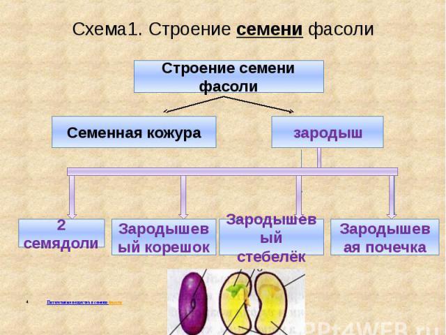 Схема1. Строение семени фасоли