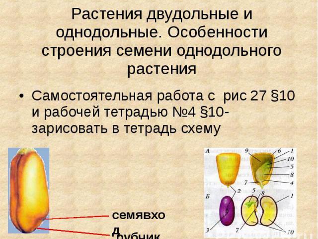 Растения двудольные и однодольные. Особенности строения семени однодольного растения Самостоятельная работа с рис 27 §10 и рабочей тетрадью №4 §10- зарисовать в тетрадь схему