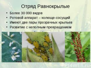 Отряд Равнокрылые Более 30 000 видов Ротовой аппарат – колюще-сосущий Имеют две