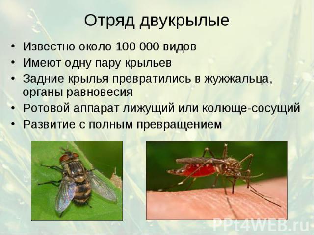 Отряд двукрылые Известно около 100 000 видов Имеют одну пару крыльев Задние крылья превратились в жужжальца, органы равновесия Ротовой аппарат лижущий или колюще-сосущий Развитие с полным превращением