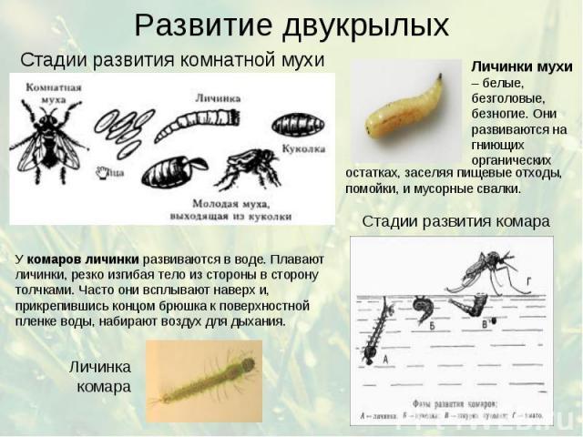 Развитие двукрылых Стадии развития комнатной мухи