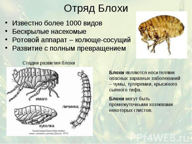 Отряд Блохи Известно более 1000 видов Бескрылые насекомые Ротовой аппарат – колюще-сосущий Развитие с полным превращением