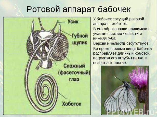 Ротовой аппарат бабочек