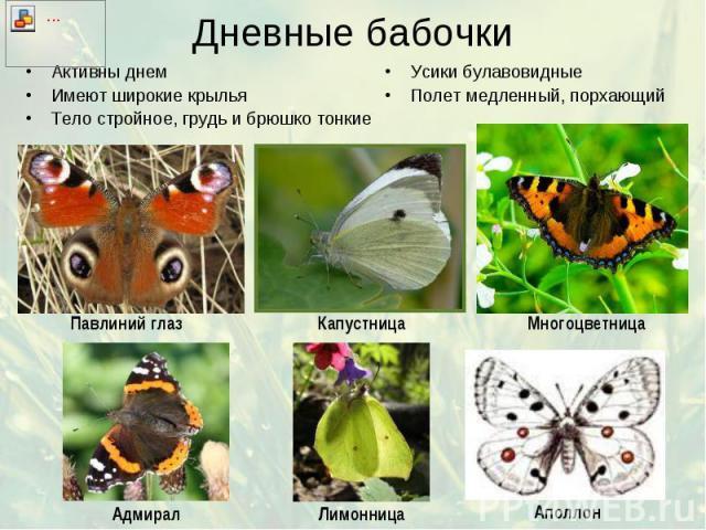 Дневные бабочки Активны днем Имеют широкие крылья Тело стройное, грудь и брюшко тонкие