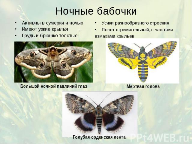 Ночные бабочки Активны в сумерки и ночью Имеют узкие крылья Грудь и брюшко толстые