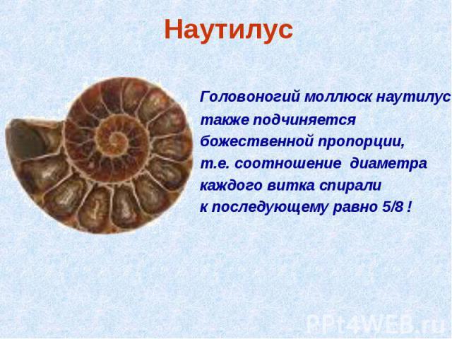 Наутилус Головоногий моллюск наутилус также подчиняется божественной пропорции, т.е. соотношение диаметра каждого витка спирали к последующему равно 5/8 !