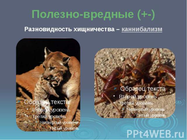 Полезно-вредные (+-) Разновидность хищничества – каннибализм