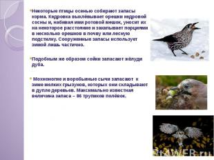 Некоторые птицы осенью собирают запасы корма. Кедровка выклёвывает орешки кедров