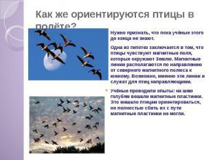 Как же ориентируются птицы в полёте? Нужно признать, что пока учёные этого до ко