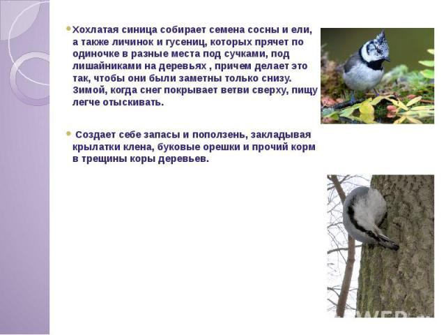 Хохлатая синица собирает семена сосны и ели, а также личинок и гусениц, которых прячет по одиночке в разные места под сучками, под лишайниками на деревьях , причем делает это так, чтобы они были заметны только снизу. Зимой, когда снег покрывает ветв…