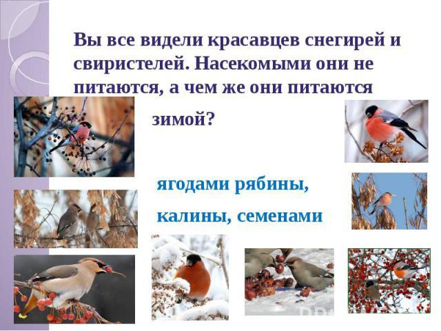 Вы все видели красавцев снегирей и свиристелей. Насекомыми они не питаются, а чем же они питаются зимой? ягодами рябины, калины, семенами клёна