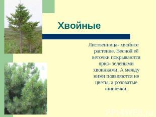 Лиственница- хвойное растение. Весной её веточки покрываются ярко- зелеными хвои