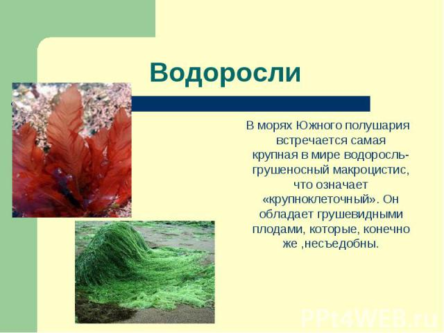 В морях Южного полушария встречается самая крупная в мире водоросль- грушеносный макроцистис, что означает «крупноклеточный». Он обладает грушевидными плодами, которые, конечно же ,несъедобны. В морях Южного полушария встречается самая крупная в мир…
