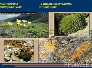1.Камнеломка 3.Цветы камнеломки 2.Полярный мак 4.Лишайник