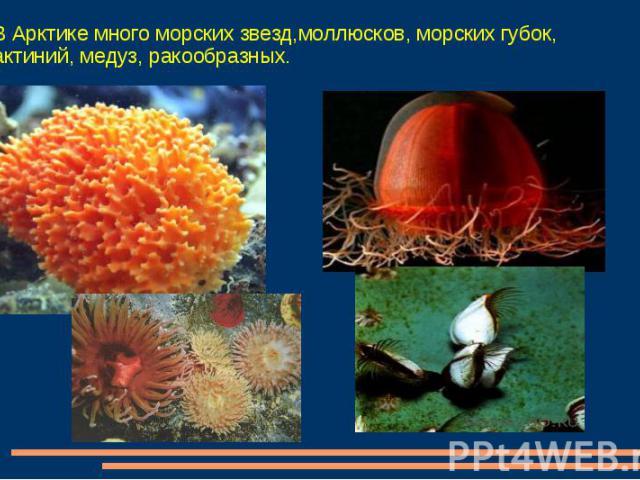 В Арктике много морских звезд,моллюсков, морских губок, актиний, медуз, ракообразных.