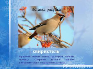 свиристель Красивая певчая птица, размером меньше скворца. Оперение густое