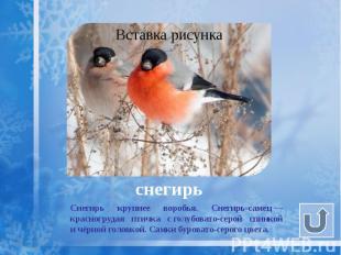 снегирь Снегирь крупнее воробья. Снегирь-самец— красногрудая птичка с&nbsp