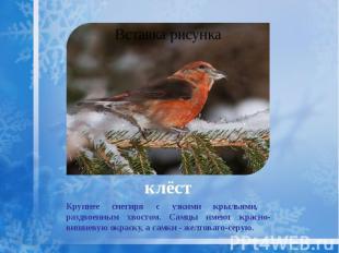 клёст Крупнее снегиря с узкими крыльями, раздвоенным хвостом. Самцы имеют красно