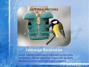 синица большая Летом синица уничтожает огромное количество насекомых. Зимой пита