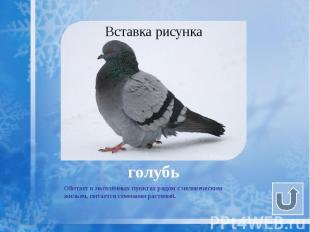 голубь Обитает в населённых пунктах рядом с человеческим жильем, питается семена