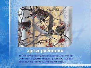 дрозд-рябинник Зимой рябинники держатся крупными стаями. Они едят и другие ягоды