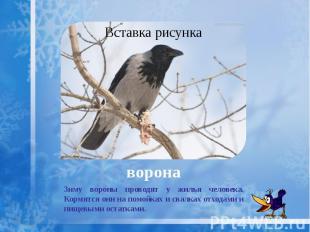 ворона Зиму вороны проводят у жилья человека. Кормятся они на помойках и свалках