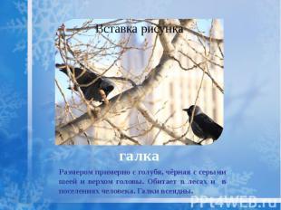галка Размером примерно с голубя, чёрная с серыми шеей и верхом головы. Обитает