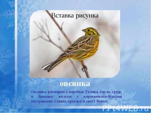 овсянка Овсянка размером с воробья. Голова, горло, грудь и брюшко жёлтые с коричневато-бурыми пестринами. Спина, крылья и хвост бурые.