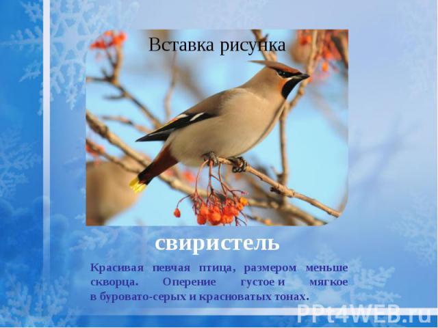свиристель Красивая певчая птица, размером меньше скворца. Оперение густоеи мягкое вбуровато-серых икрасноватых тонах.