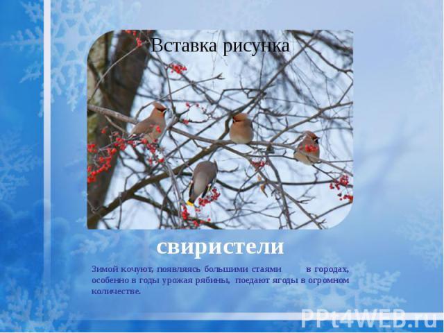свиристели Зимой кочуют, появляясь большими стаями в городах, особенно в годы урожая рябины, поедают ягоды в огромном количестве.