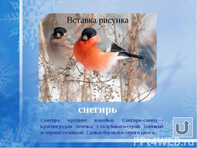 снегирь Снегирь крупнее воробья. Снегирь-самец— красногрудая птичка сголубовато-серой спинкой ичёрной головкой. Самки буровато-серого цвета.