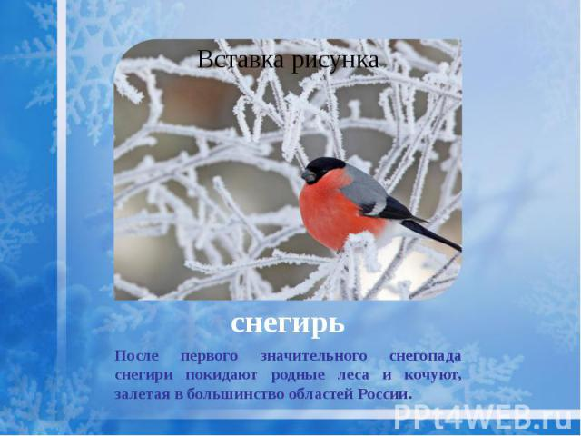 снегирь После первого значительного снегопада снегири покидают родные леса и кочуют, залетая в большинство областей России.