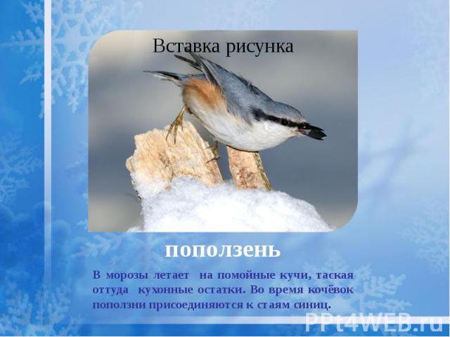 поползень В морозы летает на помойные кучи, таская оттуда кухонные остатки. Во время кочёвок поползни присоединяются к стаям синиц.